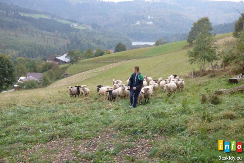 Rozchód owiec na Cieńkowie