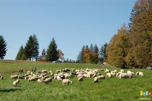 Rozchód owiec na Stecówce