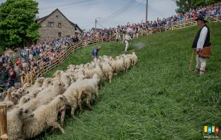 Baca w Koniakowie wymieszał owce