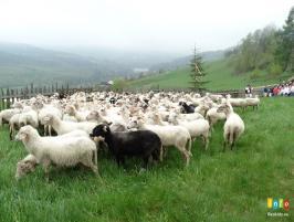 Fotorelacja z mieszania owiec na Cieńkowie