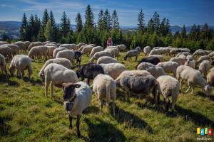 Rozsod Owiec na Stecówce