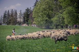 Pierwsze mieszanie owiec